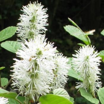 Csillagszőrű bóbitacserje - Fothergilla major - Mézelő növények
