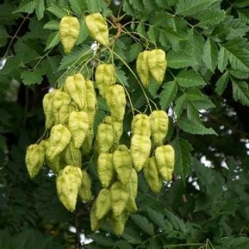 Csörgőfa termése - Koelreuteria paniculata