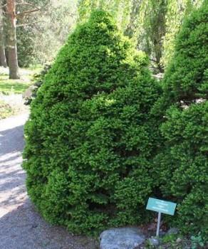 Cukorsüvegfenyő Picea glauca Conica