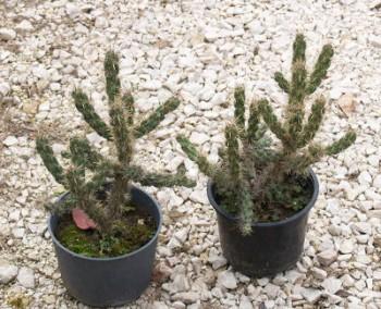 Télálló bokor kaktusz - Cylindropuntia imbricata