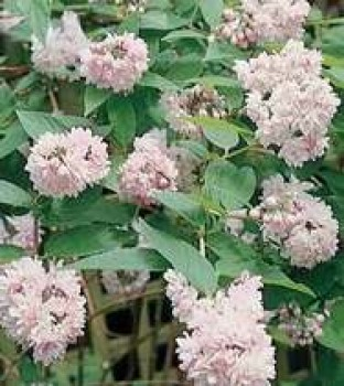 Rózsaszín gyöngyvirágcserje virágok - Deutzia Pink Pom-Pom