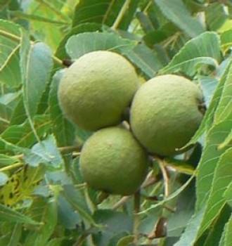 Alsószentiványi 117 diófa oltvány - oltott dió - Gyümölcsfa