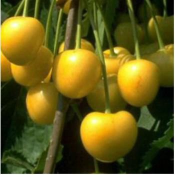 Sárga cseresznye - Dönissens Gelber