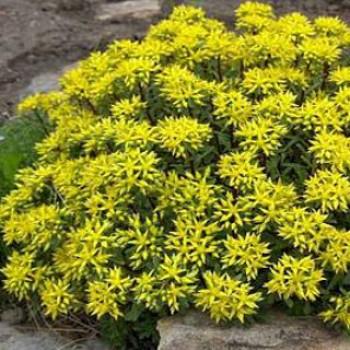 Dúsvirágú varjúháj - Sedum floriferum Weihenstephaner Gold