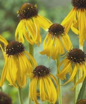 Sárga kasvirág - Echinacea paradoxa