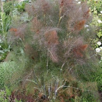Fűszernövények Édeskömény, Ánizskapor - Foeniculum vulgare Rubrum