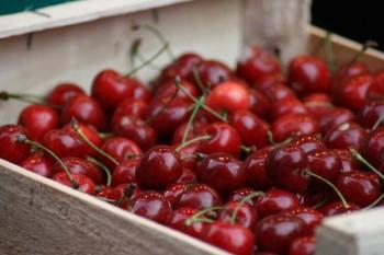 Solymári gömbölyű cseresznye gyümölcsfa