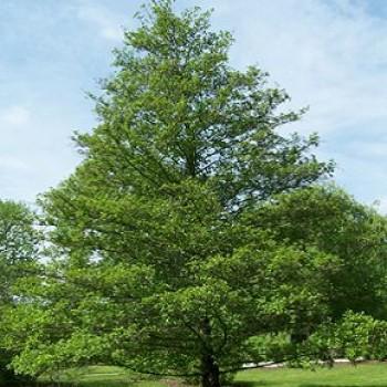 Fák, Díszfák Enyves éger fa - Alnus glutinosa