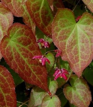 Vöröslő püspöksüveg, tündérvirág virágok - Epimedium x rubrum