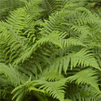 Erdei pajzsika páfrány cserepes Dryopteris filix-mas