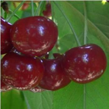 Érdi bőtermő meggyfa oltvány - Gyümölcsfa