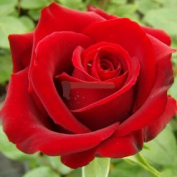 Piros, Sötétpiros bokor rózsa - Erica Pluhar