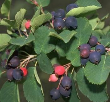 Rézvörös fanyarka gyümölcs - Amelanchier lamarckii