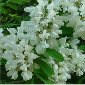 Fák, Díszfák Fehér akácfa - Robina pseudoacacia