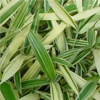Örökzöld növények Fehér csíkos levelű törpe bambusz - Sasaella