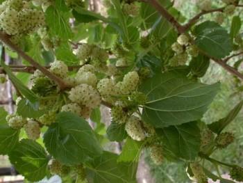 Fák, Díszfák Fehér eperfa - Morus alba