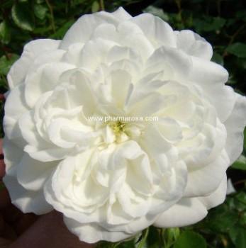 Fehér talajtakaró rózsa - Rosa Alba Meillandina - Konténeres rózsa