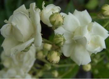 Fehér virágú futórózsa - Ida Klemm - Forrás: http://green-24.de/forum/ftopic4962.html