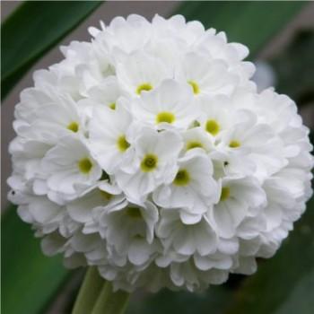 Fehér virágú gömbös kankalin - Primula