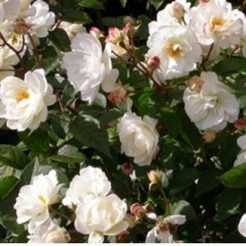 Fehér virágú ágyásrózsa - Snow White