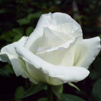 Fehér virágú bokor rózsa - Rosa White Swan