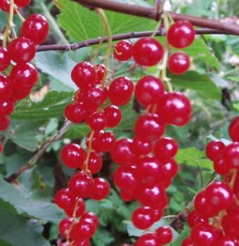 Fertődi hosszúfürtű pirosribizli - Ribiszke fajták, bogyós növények
