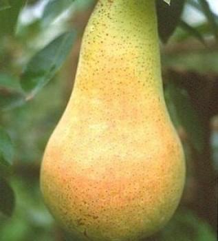 Fétel apát körtefa - Körte oltvány - Gyümölcsfa