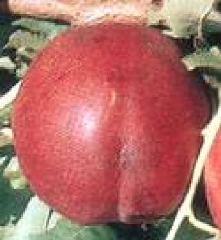 Flavortop őszibarackfa - Őszibarack oltványok
