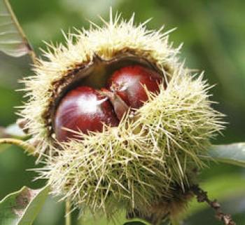 Szelídgesztenye magonc szelídgesztenye fa-  gyümölcsfa