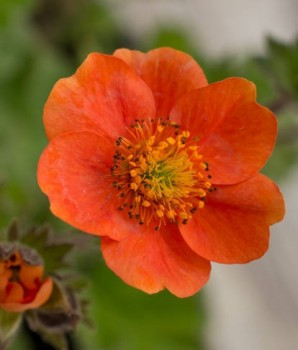 Gyömbérgyökér narancspiros – Geum coccineum Koi