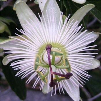 Örökzöld növények Fehér virágú golgotavirág - Passiflora Constance Elliot