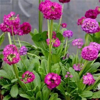 Gömbös kankalin - Primula denticulata Confetti Deep Rose