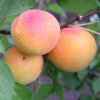 Harcot kajszibarack gyümölcsfa