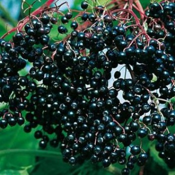 Fekete bodza - Sambucus nigra - Bogyós gyümölcs