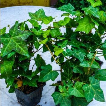 Borostyán - Hedera helix - örökzöld talajtakaró és futó növény