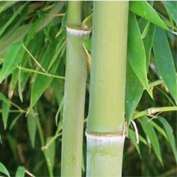 Örökzöld növények Phyllostachys nigra Henonis óriás bambusz