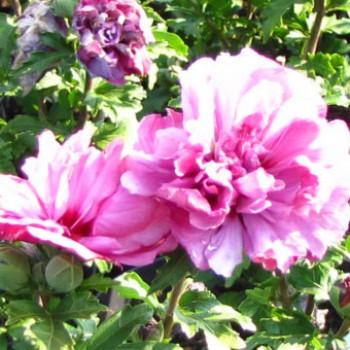 Sötét rózsaszínes piros virágú mályvacserje - Hibiscus syriacus Duc De Brabant