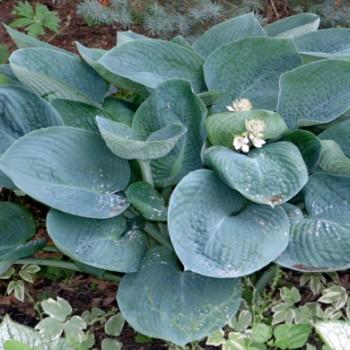 Hosta Abiqua Drinking Gourd - Kékes levelű árnyékliliom