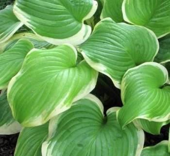 Almazöld levelű árnyékliliom - Hosta Fragrant Bouquet