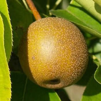 Hosui japán körte - Körte fajták - Gyümölcsfa