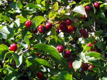 Húsos som terméssel berakódott ágai Forrás: http://www.naturamediterraneo.com/forum/topic.asp?TOPIC_ID=68184