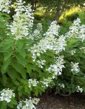 Hydrangea paniculata Tardiva – Bugás hortenzia