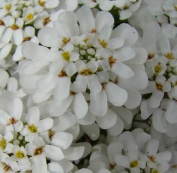 Iberis sempervirens Fischbeck Örökzöld tatárvirág