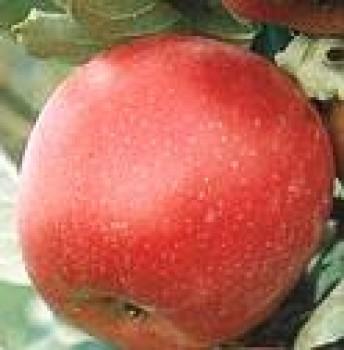 Idared almafa oltvány - Alma fajták