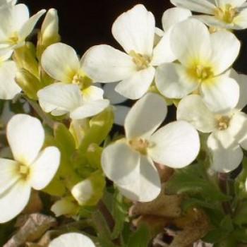 Kaukázusi ikravirág - Arabis caucasica Pixie Cream
