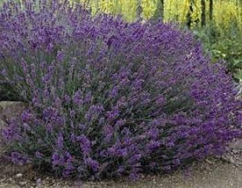Levendula Lavandula angustifolia Hidcote cserepes fűszernövény