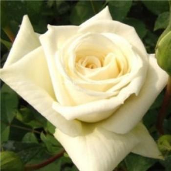 Ilse futórózsa virága - Futórózsák