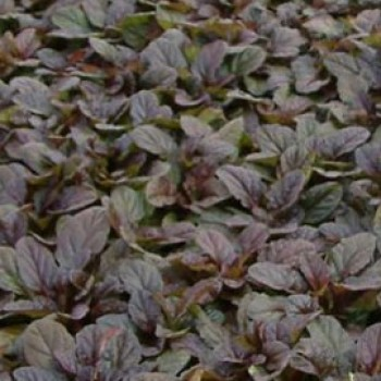 Indás ínfű bíbor-barna levelű - Ajuga Mahogany