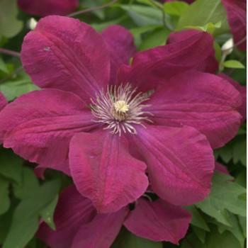 Bíbor-piros virágú iszalag - Clematis Rouge Cardinal - Futónövények