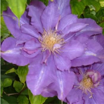 Telt lila kék virágú iszalag - Clematis Vyvyan Pennell - Futónövények